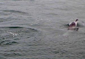 水面から頭を出し愛くるしい姿を見せるイルカ(京都府宮津市杉末)