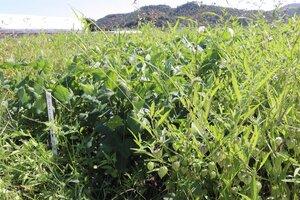 畑の中で繁殖するフウリンホオズキ(右)と、対策を施し濃い緑色のアズキの葉が育つ畝=亀岡市余部町・府農林水産技術センター