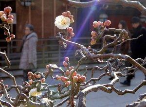 暖かな日差しを浴びる梅の花(京都市上京区・北野天満宮)