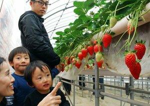 イチゴ狩りを楽しむ親子(滋賀県竜王町山之上・大谷農園)