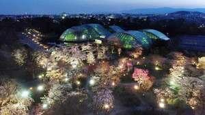 柔らかな光に照らされ夕闇に浮かび上がる満開の桜(4日、京都市左京区・京都府立植物園)=小型無人機から