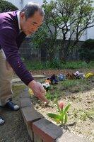 岸本真砂子さんが生前、自宅の花壇に植えたチューリップに手を差し伸べる夫貞巳さん(大阪府豊中市)