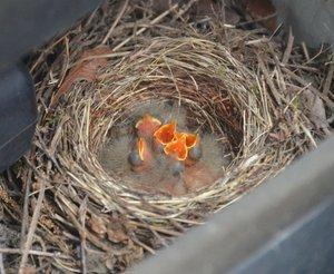 軽トラックに作られた巣。5羽のひなが口を開け、餌を求めるそぶりを見せていた(京都府南丹市園部町)