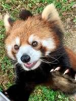 先月撮影されたレッサーパンダの「ジャスミン」=京都市動物園提供