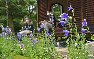 キキョウを眺める参拝者ら(27日午前10時34分、京都市東山区・天得院)