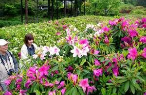 新緑の庭園を彩る紫や白、ピンクのヒラドツツジ(京都府宇治市莵道・三室戸寺)