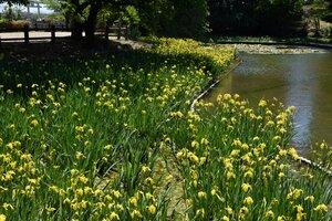 たくさんの花を咲かせるキショウブ(長岡京市天神2丁目・八条ケ池)