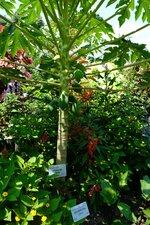 正門花壇ではパパイアなど熱帯の植物が多く植えられている