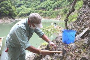 保津峡の険しい岩場によじのぼってイワツツジの苗を植え付ける参加者たち(京都府亀岡市)