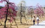 三室戸寺で完成した「しだれ梅園」。宇治市街を一望する高台に250本を植えた(同市莵道・三室戸寺)