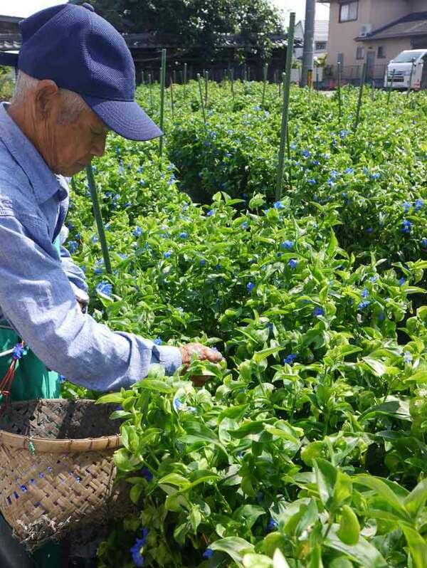 爽やかなブルーが特徴のアオバナを手際よく摘み取る栽培農家(草津市下笠町)