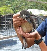 6年ぶりふ化に成功したマゼランペンギンのひな(宮津市小田宿野・丹後魚っ知館)
