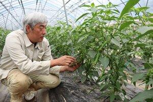 栽培している万願寺甘とうの様子を見る北山さん(福知山市三和町中出)