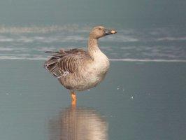 琵琶湖に今季初めて飛来したオオヒシクイ(長浜市湖北町今西)=湖北野鳥センター提供