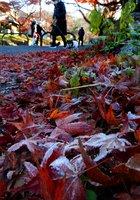 鷺森神社の参道で霜をまとった紅葉の落ち葉(12月16日午前8時45分、京都市左京区修学院宮ノ脇町)