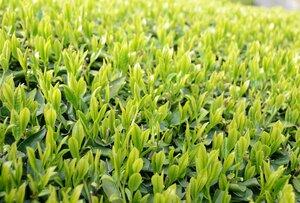 【資料写真】宇治茶の茶畑