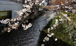 祇園白川の桜並木(京都市東山区)