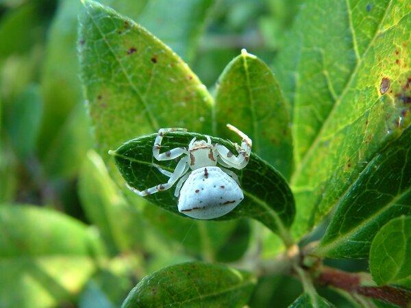 アズチグモ。網を張らずに花の上などでエサをまちぶせる(中田教授提供)