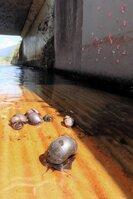 大発生しているジャンボタニシ。水路の壁(写真右上)に付いているピンク色の塊が卵=亀岡市保津町