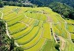 実りのシーズンを迎え黄色に染まった樒原の棚田(8月31日午前11時43分、京都市右京区)=小型無人機から