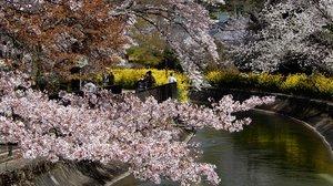 山科疏水の桜並木(3月31日、京都市山科区)