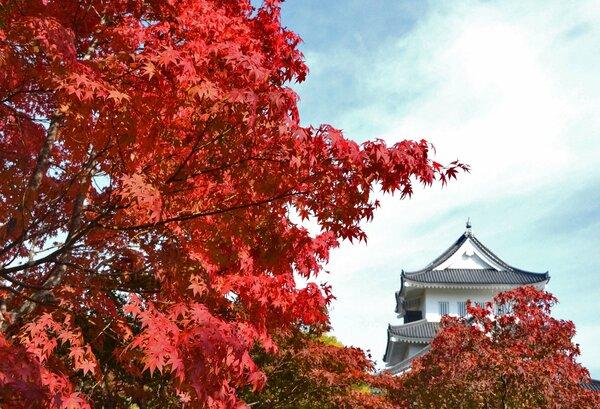 寒暖差が大きい京都府南丹市園部町で真っ赤に色づいたモミジ(園部公園)