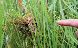 オギの群生地内に作られたカヤネズミの巣(京都府立木津川運動公園)