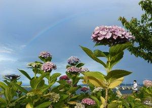 小雨が降っては晴れ間が広がった夕方。琵琶湖岸に咲くアジサイに虹が彩りを添えた(10日午後6時、大津市由美浜・大津湖岸なぎさ公園)