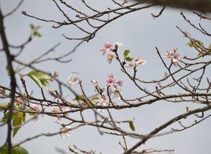 秋風の中、花を咲かせたソメイヨシノ(16日、南丹市日吉町田原)