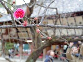 開花した早咲きの「寒紅梅」(11日午後2時9分、京都市上京区・北野天満宮)