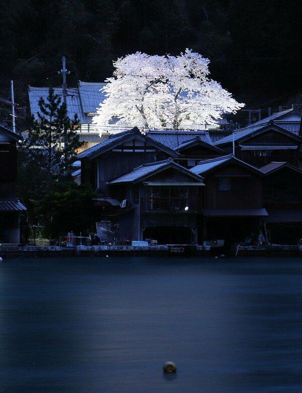 海を挟み、舟屋越しに浮かび上がる海蔵寺の夜桜(伊根町平田)