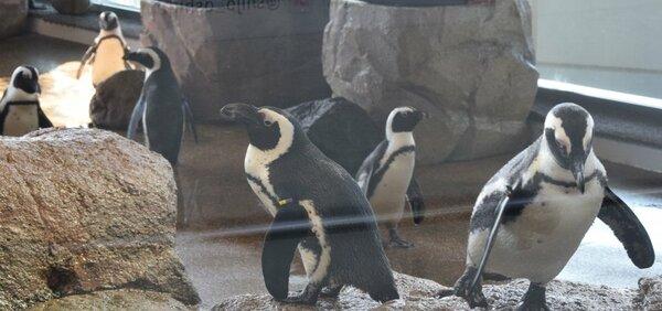 【資料写真】京都水族館で飼育するケープペンギン
