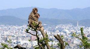 京都の街並みを見下ろすように、木の上に駆け上がった子ザルたち(京都市西京区・嵐山モンキーパークいわたやま)