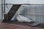 和束町で見つかった白いカラス(18日午後5時50分、町役場)