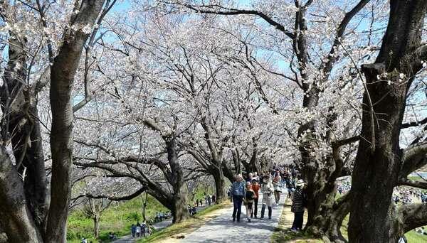 満開の桜並木のトンネルをくぐり抜ける市民ら(八幡市・淀川河川公園背割堤地区)