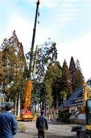 境内にある高さ約30メートルのスギの伐採を見守る地元住民ら(京都府京丹波町中台・西岸寺)