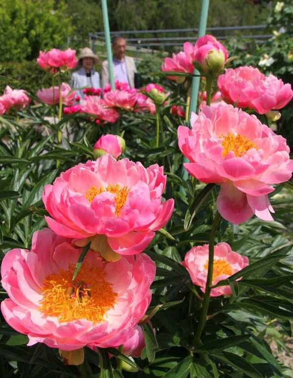 見頃を迎え、鮮やかに咲き誇るシャクヤク(滋賀県日野町鎌掛・日野ダリア園)