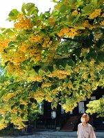 真如堂境内で見頃を迎え、甘い香りを漂わせている菩提樹(京都市左京区)