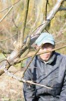 シカに食いちぎられた梅の枝(下)=京都府城陽市市辺