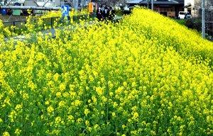 黄色い花を咲き競うセイヨウカラシナ(京都府長岡京市勝竜寺)