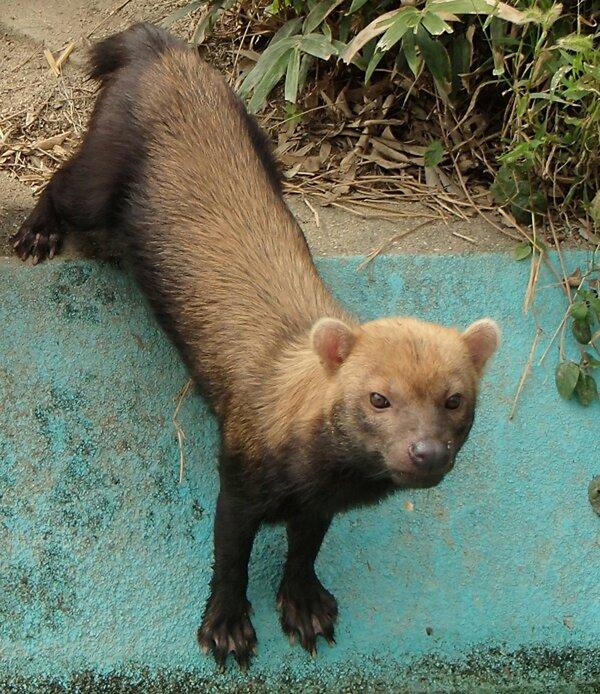 神戸市内の動物園に移されたヤブイヌのカリカ=京都市動物園提供