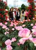 美しく花開いたバラを眺める市民たち(京都府亀岡市余部町・ガレリアかめおか)