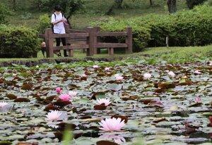 府立丹波自然運動公園内の池で見頃を迎えているスイレン(京丹波町蒲生)