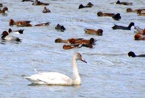 他の水鳥とともに湖面にとどまるコハクチョウの幼鳥(滋賀県草津市)