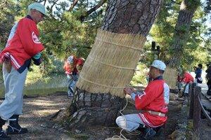 彦根城のいろは松にこもを巻く作業員たち(彦根市金亀町)