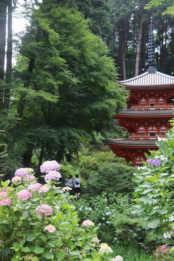 朱色の三重塔や新緑と競演するアジサイ(木津川市加茂町・岩船寺)