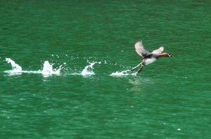 翼を広げ、ため池の水上を駆けるカイツブリ。降水量が少ない県南東部に多いため池は農作物だけでなく生き物の命も育む(6月15日、大津市)