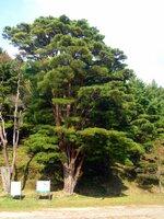 放射上に伸びた樹形が美しい樹齢推定300年のウツクシマツ。自生地では象徴的な木だった(2009年11月)