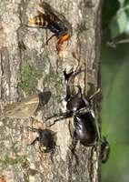 樹液を求めて木の幹に群がるカブトムシやカナブン、スズメバチなど(大津市内)