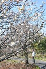 日だまりで早くも七分咲きとなった白梅 (京都府城陽市中)